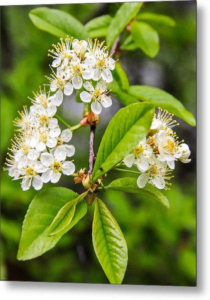 Pin Cherry Blossoms Metal Print by Susan Crossman Buscho