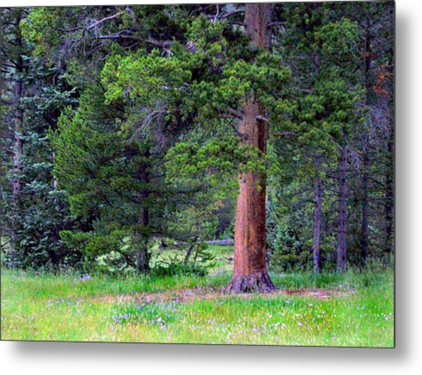 Pine At Rocky Mountain National Metal Print