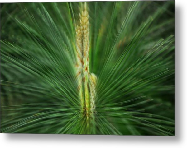 Pine Cone And Needles Metal Print