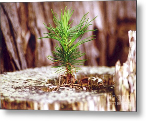 Pine Seedling Metal Print