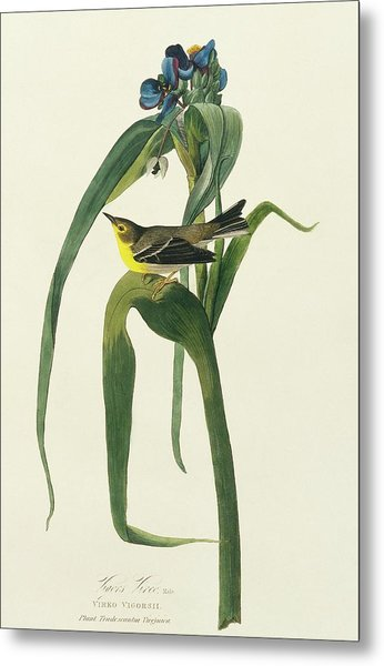 Pine Warbler Metal Print by Natural History Museum, London/science Photo Library