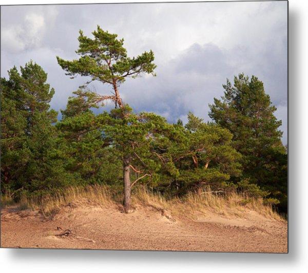 Pines On The Beach Metal Print