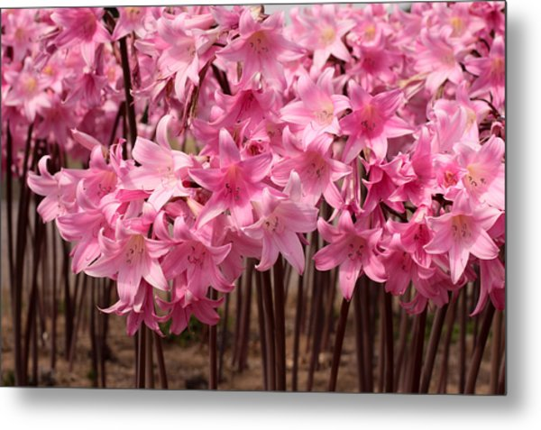 Pink Amaryllis Metal Print by Denice Breaux