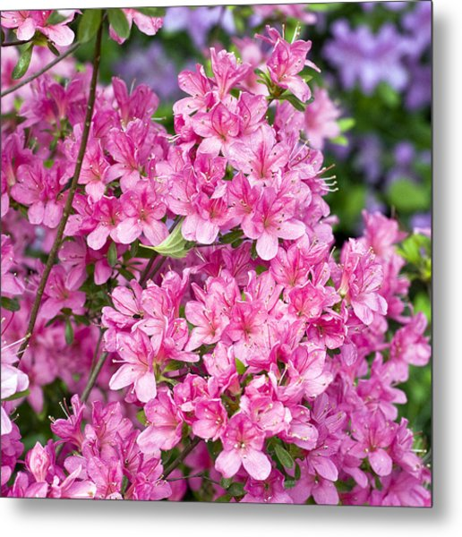 Pink And Blue Rhododendron Metal Print by Frank Tschakert