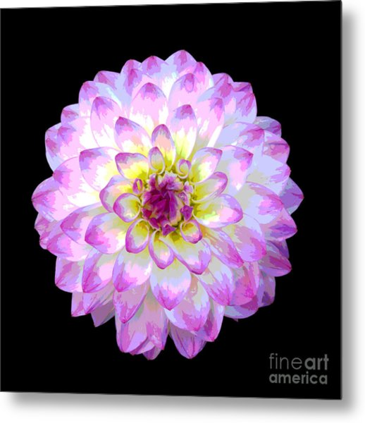 Pink And White Dahlia Posterized On Black Metal Print by Rosemary Calvert