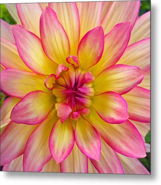 Pink And Yellow Dahlia Metal Print