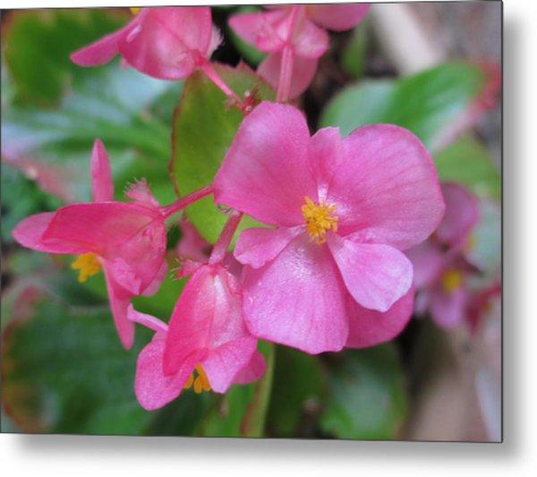 Pink Begonias Metal Print