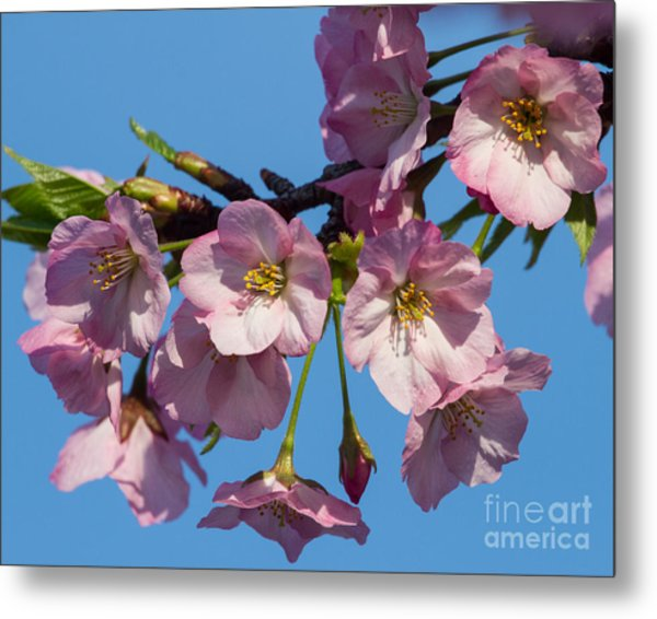Pink Blossoms-3 Metal Print