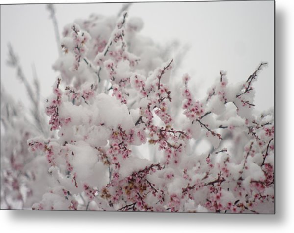 Pink Spring Blossoms In The Snow Metal Print