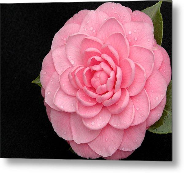Pink Camellia After Rain Metal Print
