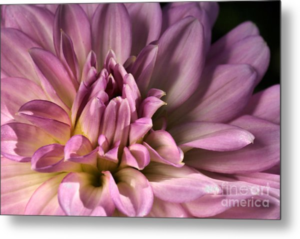 Pink Dahlia's Dream Metal Print