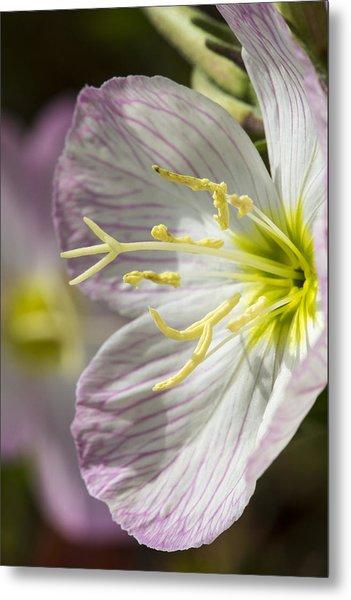 Pink Evening Primrose Flower Metal Print
