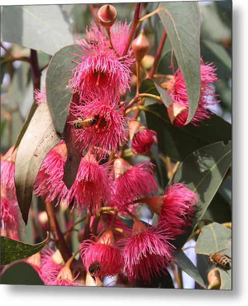 Pink flowering gum blossom photograph by mary sablovs pink flowering gum blossom metal print by mary sablovs mightylinksfo
