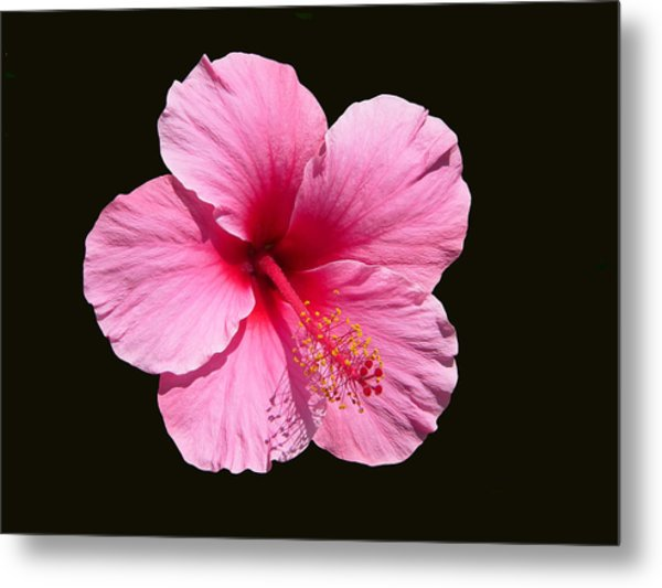 Pink Hibiscus Blossom Metal Print