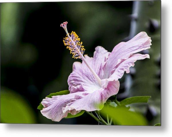 Pink Hibiscus Flower Metal Print