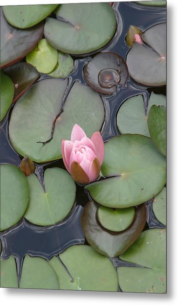 Pink Lilly Metal Print by Dervent Wiltshire