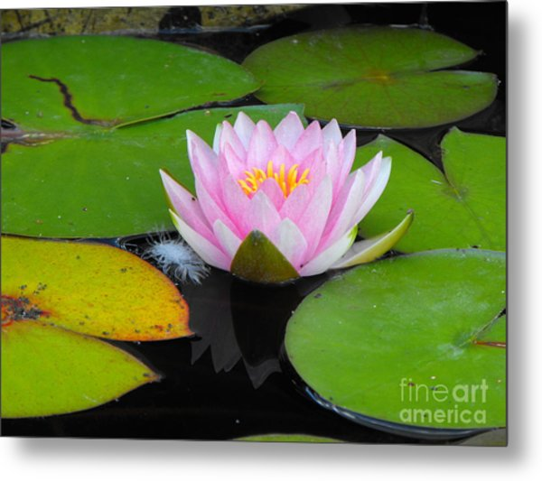 Pink Lilly Flower Metal Print