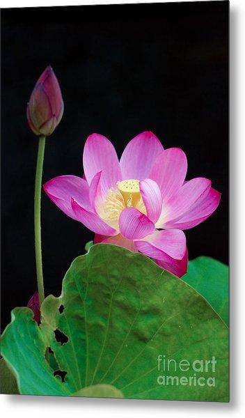 Pink Lotus Flowers Metal Print