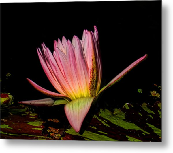 Metal Print featuring the photograph Pink Lovely by Grace Dillon
