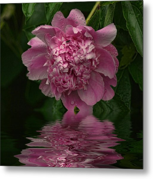 Pink Peony Reflection Metal Print