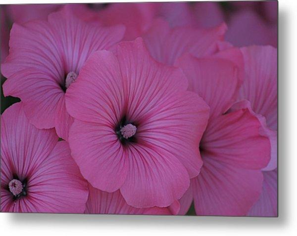 Pink Petunia Metal Print