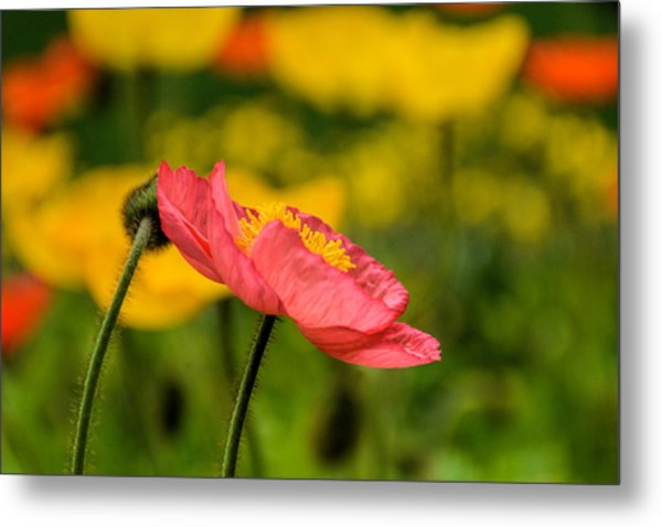 Pink Poppy  Metal Print by Jeanne May