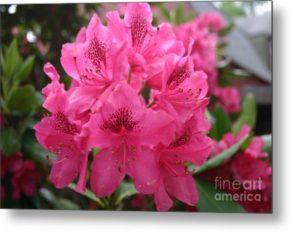 Pink Rhododendron Bloom Metal Print