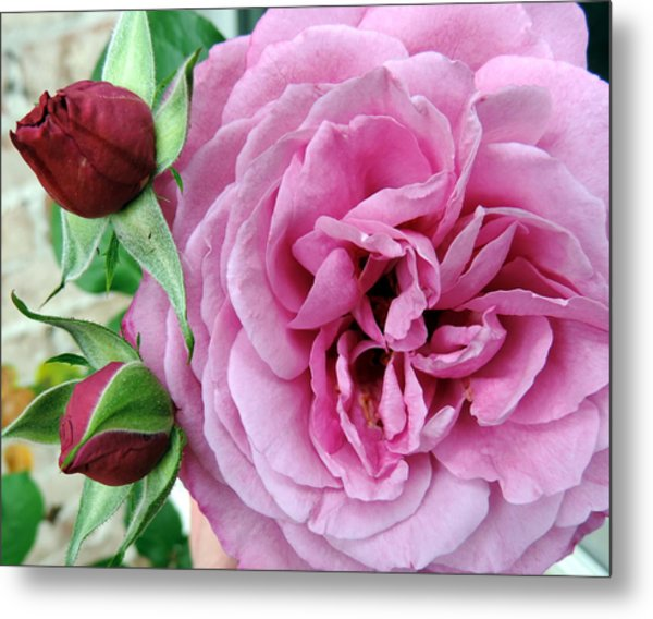 Pink Rose And Buds Metal Print
