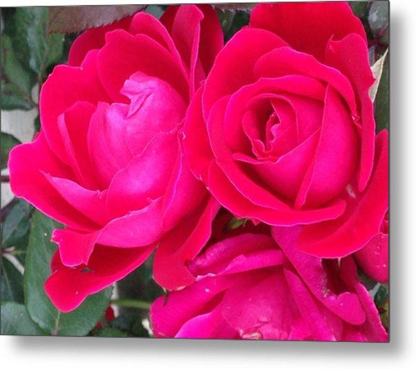 Pink Rose Blossoms Metal Print