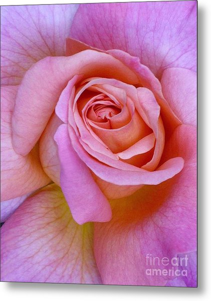 Pink Rose Close-up Metal Print