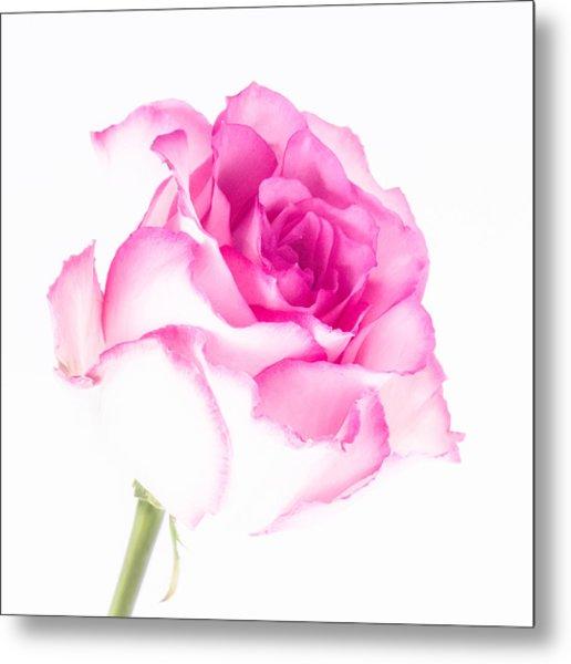 Pink Rose Confection Metal Print