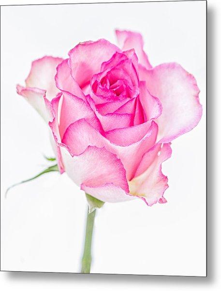 Pink Rose Glory Metal Print