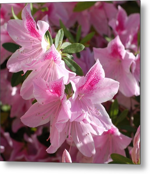Pink Star Azaleas In Full Bloom Metal Print