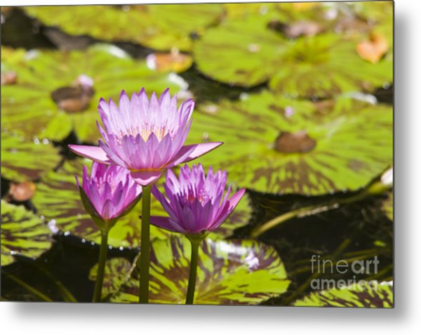Pink Tropical Water Lilly Metal Print