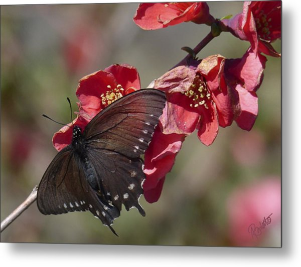 Pipevine Swallowtail And Roses Metal Print
