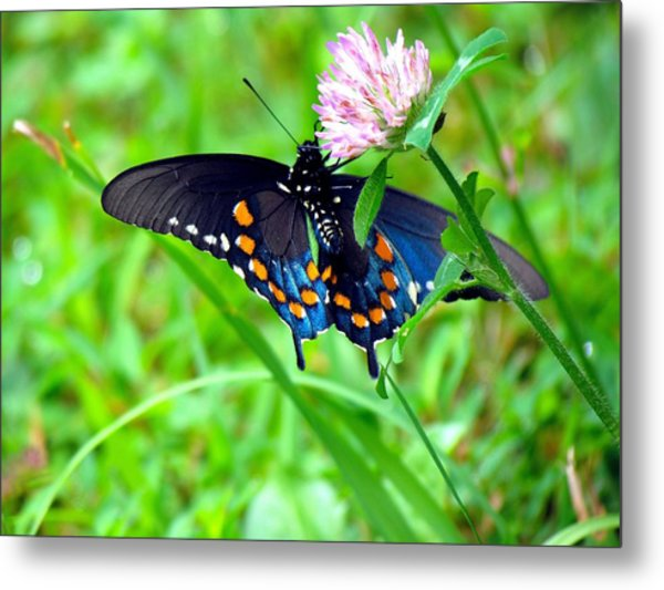 Pipevine Swallowtail Hanging On Metal Print