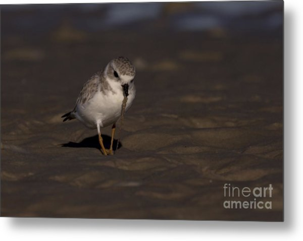 Piping Plover Photo Metal Print