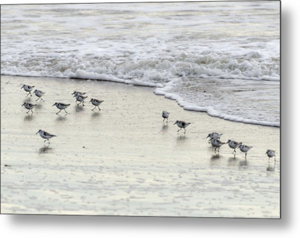 Piping Plovers At Water's Edge Metal Print
