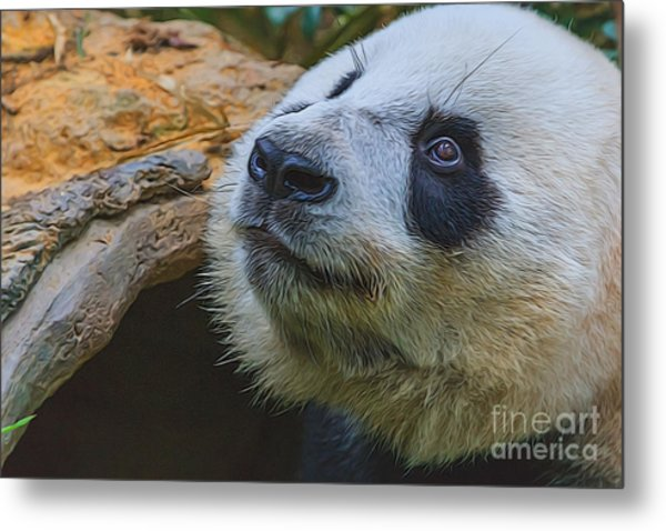 Pleading Panda Metal Print