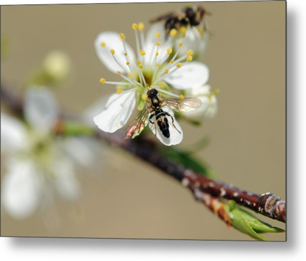 Plum Pollinator  Metal Print by Giffin Photography