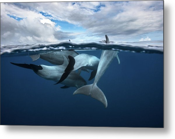 Pod Of Dolphin At The Surface Metal Print