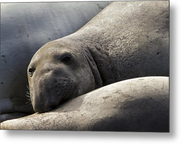 Point Piedras Blancas Elephant Seal 1 Metal Print