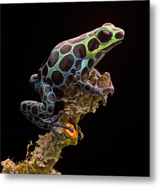poison arrow frog Peru rain forest Metal Print