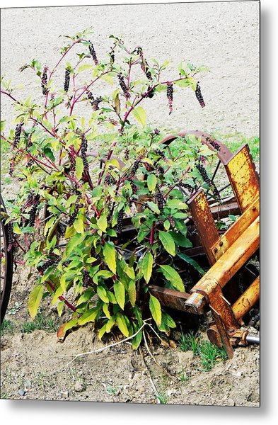 Pokeweed Plant In Fruit Metal Print