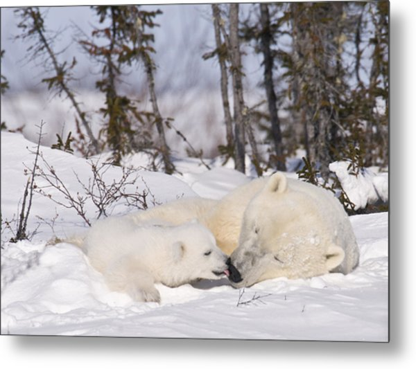 Polar Bear Cub Kisses Mother Metal Print