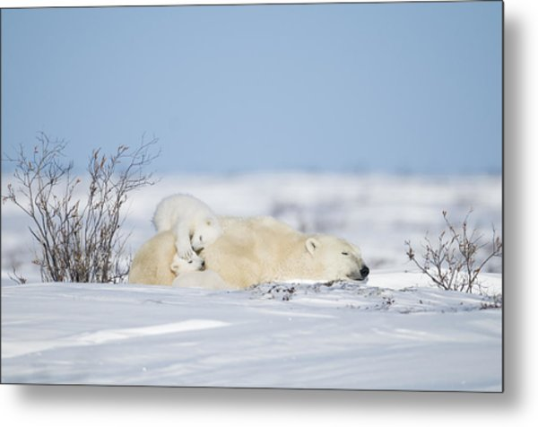 Polar Bear Cubs Play On Mothers Back Metal Print