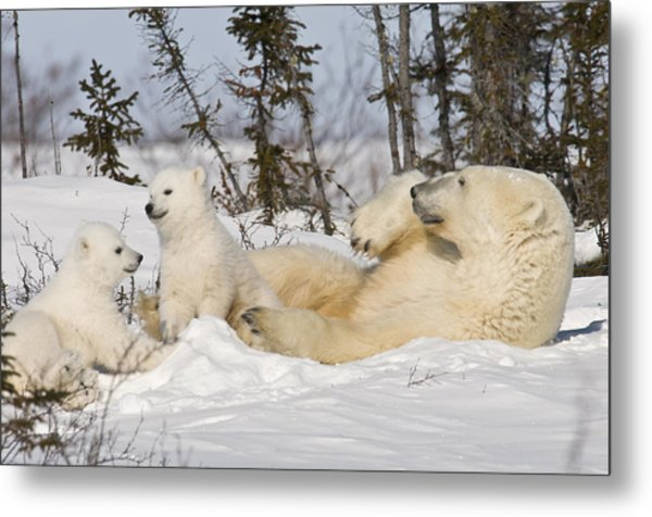 Polar Bear Family Playing In The Snow Metal Print