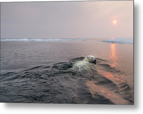 Polar Bear, Hudson Bay, Canada Metal Print by Paul Souders