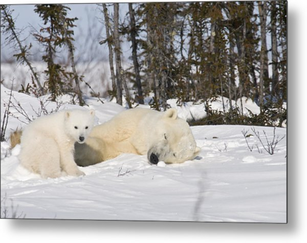 Polar Bear Mother Sleeps As Her Cub Looks Around Metal Print