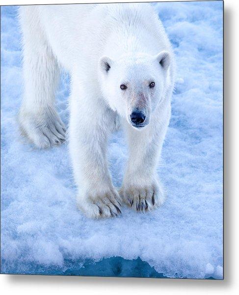 Polar Bear Portrait In Svalbard Metal Print